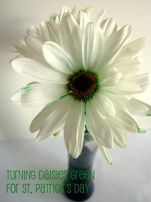 Green Daisies Science Fun for St. Patrick's Day at B-InspiredMama.com