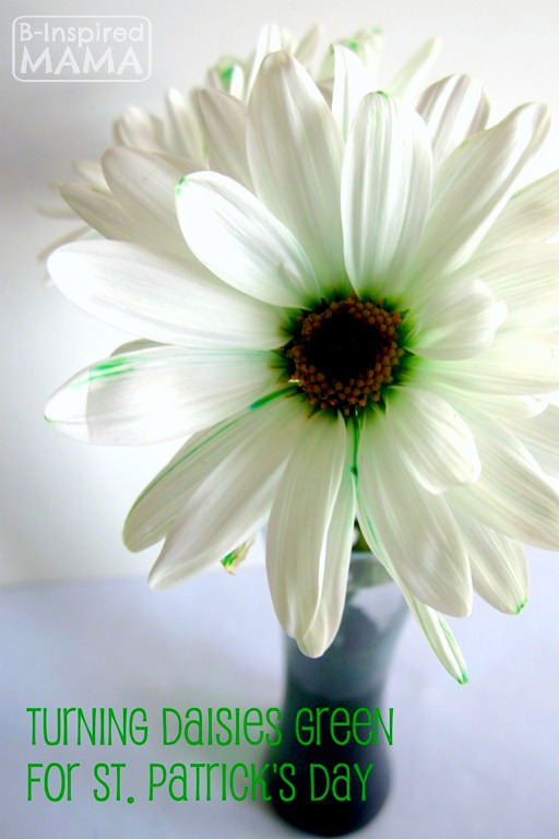 Simple Science for Kids - Turning Daisies Green for St. Patrick's Day at B-Inspired Mama