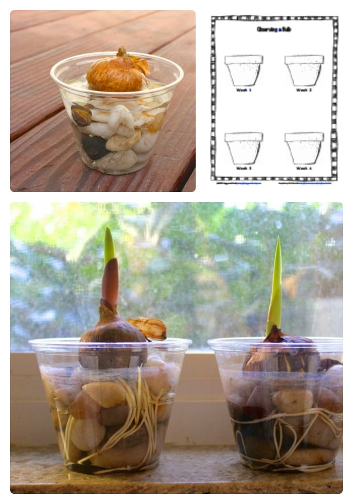 Observing Plant Growth with a Science Worksheet for Kids from Buggy and Buddy at B-InspiredMama.com